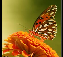 Gulf Fritillary Butterfly by Julie's Camera Creations <><