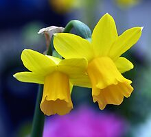 Two lone Daffodil's by Jeffrey  Sinnock