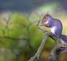 Grey Squirrel by Neil Bygrave (NATURELENS)