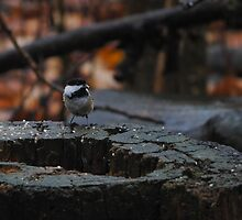 Black-capped Chickadee eating seed by kitkat55555
