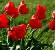 Red tulips in bloom by AndrewBlake
