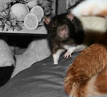 Arnie is one BIG rat! by MoreKeala
