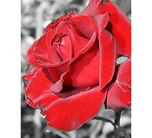 Velvet Rose - selective color Photographic Print