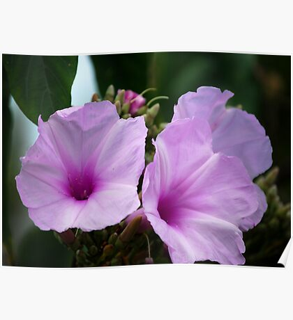 East Coast Native Hibiscus Poster