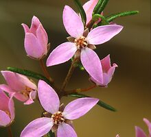 Sydney Boronia by ChrisRoss