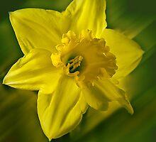 Daffodill by Steve plowman