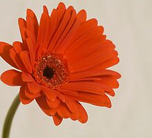 Daisy by discerninglight