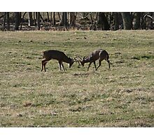 Bucks In The Rut Photographic Print