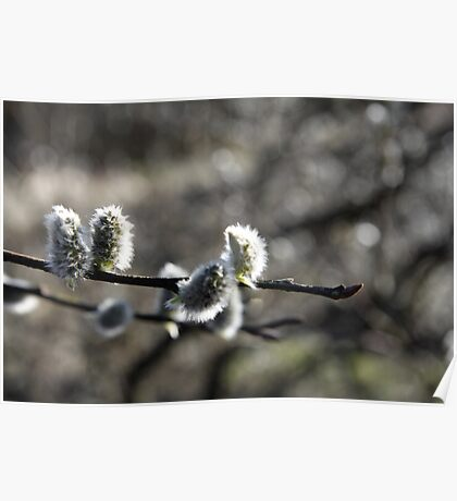 Spring Willow Poster