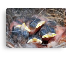 Newly-hatched chickadees Canvas Print