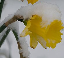 Snow Daff by Andy Harris
