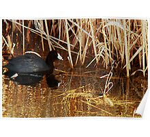 American Coot in Reeds Poster