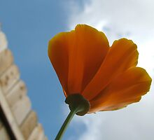 Poppy Gazes Skyward by hoboannie