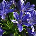 Blue Agapanthus by Janine  Hewlett