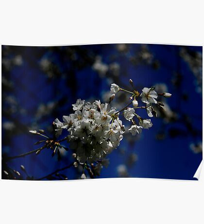 Blooming Cherry Tree Poster