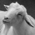 goat by Jenifer