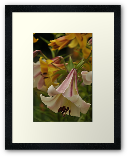 """Trumpet Lily """"Easter Morn"""" by Michael Cummings"""
