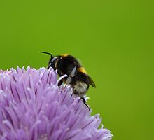 Bumble Bee by AmarylisValdeon