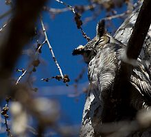 Great Horned Owl by MarcVDS