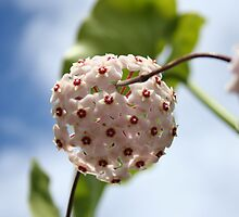 Flower of the Pink Hoya. by Michael Morris