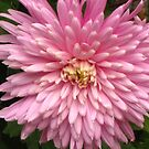 Pink burst by Maria1606