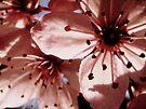 Sweet Blossoms by karolina