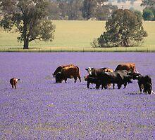 Cows in a field of Blue. by Debi Meadows