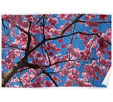 Cherry blossom against blue sky Poster