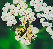Yellow black bug on a white flower macro by lalylaura