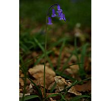 Single Bluebell in Prehen Woods, Derry Photographic Print
