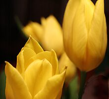 tulip by Amanda Modra