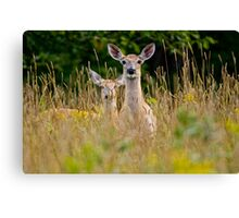 White Tailed Deer in Grass - Ottawa, Ontario Canvas Print