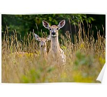 White Tailed Deer in Grass - Ottawa, Ontario Poster
