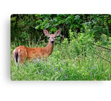 White Tailed Deer Doe - Ontario Canvas Print
