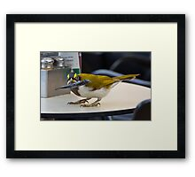 Honey Eater Framed Print