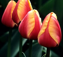 Four Tulips by Alison Cornford-Matheson