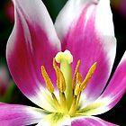 Hot Pink Tulip by Kelly Pierce