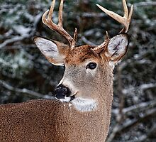 Deer Buck Portrait in Winter - Ottawa, Ontario by Michael Cummings