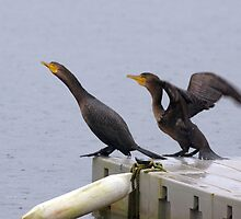 Cormorants diving into lake by Happystiltskin
