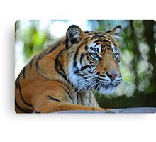 Tiger At The Australia Zoo. Beerwah, Queensland, Australia. Canvas Print