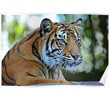 Tiger At The Australia Zoo. Beerwah, Queensland, Australia. Poster