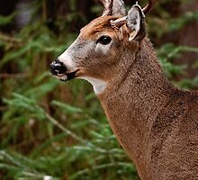 Deer Buck Portrait - Ottawa, Ontario - 1 by Michael Cummings