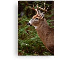 Deer Buck Portrait - Ottawa, Ontario - 1 Canvas Print