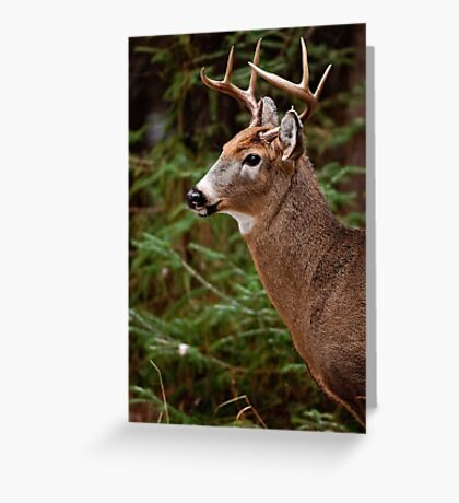 Deer Buck Portrait - Ottawa, Ontario - 1 Greeting Card