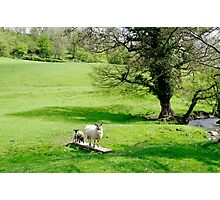 Sheep Bridge! at Thorpe Photographic Print