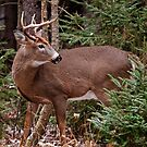 Deer Buck - Ottawa, Ontario - 7 by Michael Cummings
