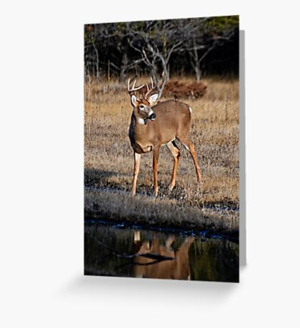 Deer Buck by Water - Ottawa, Ontario  Greeting Card