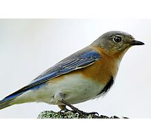 Mrs. Bluebird is eyeing me closely Photographic Print