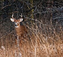 Deer Buck - Ottawa, Ontario - 5 by Michael Cummings