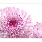 Chrysanthemum by orchiddesign